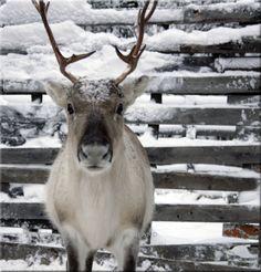 """ I am Reindeer "" Lappi Finland Photo By Aili Alaiso"