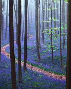 Spring In Hallerbos Forest, Belgium Going to have to take Piper for a walk thru all of these