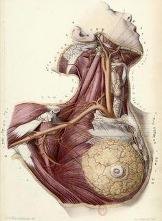 Planche - écorché de femme de face. 1866. France.
