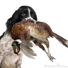 English Springer Spaniel hunting (1 year) by Isselee, via Dreamstime