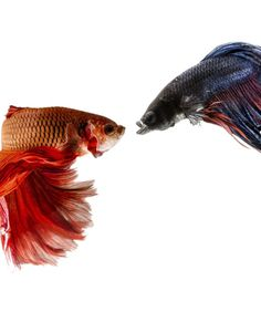 """FIGHTING FISH"" IS NO MISNOMER....Betta splendens are known colloquially as Siamese fighting fish, and for good reason. Bettas are very territorial and aggressive. Although females are not quite as violent as males, a betta of any sex may fight any other betta without hesitation. Even the sight of its own reflection can cause a betta to flare up with aggression. Fights aren't usually to the death as is commonly believed, but they do lead to serious injury"