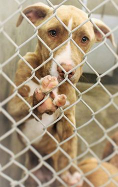 Still Listed! ((URGENT-She is scheduled to DIE TONIGHT, June 3)) She is URGENT!!! On the list TO DIE IF NOT OUT BEFORE 7PM 6/3/14! She was betrayed & dumped by her owners! Please don't let her die!! Staffordshire Terrier mix female less than a year old Kennel A19*****$51 to adopt Located at Odessa, Texas Animal Control. 432-368-3527.