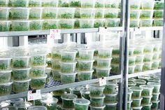 Micro Prorogation - Tissue Culture | Technology of Plant Tissue Culture