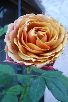 Beautiful Roses, Beautiful Gardens, Old World Wedding, Ronsard Rose, Every Rose, Pink Day, Coming Up Roses, Language Of Flowers, Rose Bush