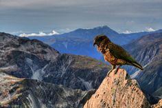 New Zealand Mountain Parrot (Kea) HD Wallpaper Nature Publication, New Zealand Mountains, Nz History, Life Pictures, Life Pics, Flying Together, Natural Life, British Isles, Hd Wallpaper