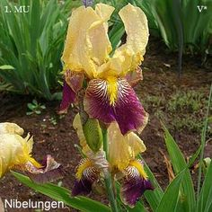Nibelungen | Historic Iris Preservation Society