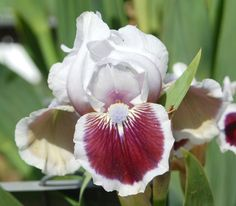 SDB Iris germanica 'Puddy Tat' (Black, 2002)