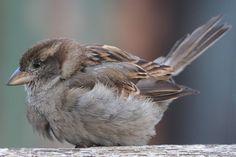 House Sparrow Bird | House Sparrow (Passer domesticus) Young House Sparrow