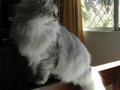 Asian Smoke Cat | Tiffanie cat of the Asian group of cats