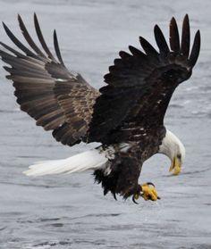 Eagles soar along Wisconsin River