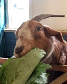 """Woodstock Farm Sanctuary on Instagram: """"Another reminder from a rescued resident that we need to eat more greens😂🌱Major thank you and shout out to @highfallsfoodcoop who has been…"""" Cute Animal Videos, We Need, Shout Out, Goats, Cow, Cute Animals, Instagram, Pretty Animals"""