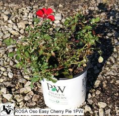 Oso Easy Roses are smaller maturing groundcover type roses.  Oso Easy Cherry Pie has red flowers.