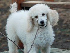 Ted the Poodle