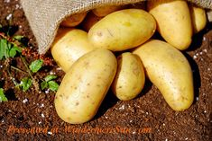 Confused about how many carbs to eat per day? Current amount of carbs your eating not working? What are the type 2 diabetic carbs per day recommendations anyway? Potato Health Benefits, Benefits Of Potatoes, Juicing Benefits, When To Harvest Potatoes, Grow Potatoes, Baked Potatoes, Frozen Potatoes, Potato Varieties, Fresh Potato