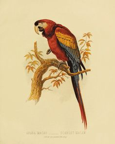 Tropical Parrot antique bird print nature wall by VictorianWallArt