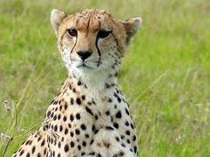 Cheetah's Return in the Cards for India? : TreeHugger