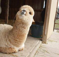 Cute Alpaca, Llama Alpaca, Animals Beautiful, Cute Animals, Silly Dogs, Hobby Farms, Alpacas, Cute Pins, Sad
