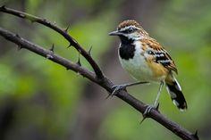 Foto piu-piu (Myrmorchilus strigilatus) por Thiago T. Silva | Wiki Aves - A Enciclopédia das Aves do Brasil