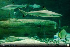 « Katana & requins » Katana en ambiance océanique • Avec l'aimable participation du Seaquarium du Grau-du-Roi et de l'École Haragei de Castelnau-le-Lez ► http://www.histophile.com ► http://www.seaquarium.fr