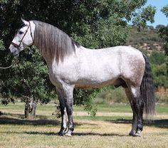 Indio JT III caballo español