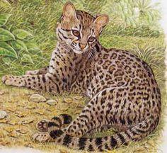 Little Spotted Cat, Tiger Cat, Oncilla, Leopardus tigrinus