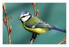 Bird watching vacations, nearly 120 species breed in Great Smoky Mountains Bearfoot Memories is your home away from home. Pretty Birds, Beautiful Birds, Beautiful Things, Great Backyard Bird Count, Richard Paul Evans, British Garden, Colorful Feathers, Colorful Birds, All Gods Creatures