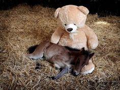 Orphaned pony foal snuggles with a giant teddy bear...
