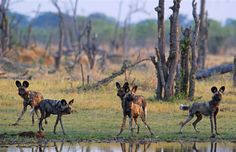 Enjoy award-winning accommodation and spectacular animal sightings at Moremi Game Reserve in Botswana
