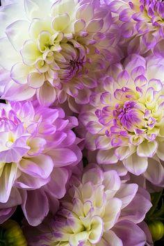 Dahlias Flower http://viaggi.asiatica.com/