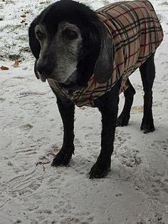 CENTREVILLE, VA - SHADOW is a Labrador Retriever for adoption who needs a loving home. #labradorretriever