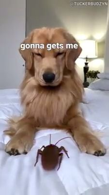Golden Retriever Discover My Dog Reacts to Giant Cockroach Cat and dog Funny Animal Jokes, Funny Dog Memes, Funny Dog Videos, Cat Memes, Cat And Dog Videos, Funny Captions, Animal Humor, Animal Quotes, Cute Funny Dogs