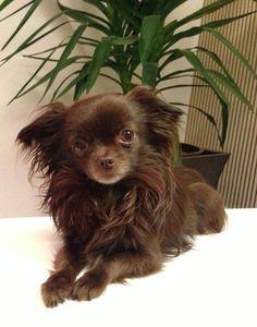 Wunderschöner Schoko Mini-Chihuahua!! Kein... (Köln) - Chihuahua (Deckrüde) - Deine-Tierwelt.de