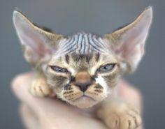 Devon rex - Has Grumpy Cat met his match ? Look out Grumpy !!!