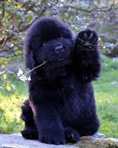 Great Newfoundland Chubby Adorable Dog - 7ee0a3c4c8f1f7b96e90fdfd9450abe6  Photograph_488322  .jpg