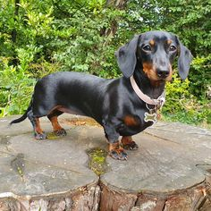 "Acquire wonderful tips on ""dachshund pups"". They are readily available for you on our website. Dachshund Breed, Dapple Dachshund, Dachshund Puppies, Weenie Dogs, Dachshund Love, Cute Puppies, Dogs And Puppies, Daschund, Chihuahua Dogs"