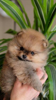 Spitz Pomeranian, Cute Pomeranian, Pomeranians, Pomeranian Haircut, Cute Baby Dogs, Cute Puppies, Dogs And Puppies, Animals And Pets, Baby Animals