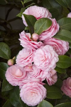 Camellias represent longevity and faithfulness. Pearl Maxwell Camellia's prized flowers bloom mid to late winter, forming a dazzling contrast with the glossy, dark green foliage. Zone 8-10