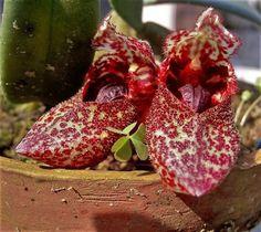 Orquídea Sapatinho - Jardim Exótico - O maior portal de mudas do Brasil.