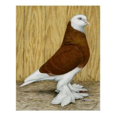 West of England Tumbler Pigeon. | West of England Tumbler Red Baldhead Posters