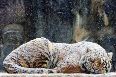 Immagine di tiger, snow, and animal