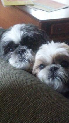 Shih Tzus are true companion dogs. Bred for centuries to be man's best friend, it's no wonder that Shih Tzu puppies are among the most popular of tiny breeds. Are you thinking about bringing a Shih Tzu puppy into your life? Read on to see what to expect! Shih Tzu Hund, Chien Shih Tzu, Perro Shih Tzu, Shih Tzu Puppy, Shih Tzus, Shitzu Puppies, Cute Puppies, Cute Dogs, Dogs And Puppies