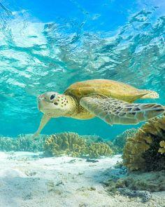 Sea turtle by mark fitz ocean turtle, hawaiian sea turtle, turtle lov Hawaiian Sea Turtle, Ocean Turtle, Turtle Love, Small Turtles, Baby Sea Turtles, Sea Turtle Wallpaper, Hawaii Pictures, Underwater Painting, Ocean Life