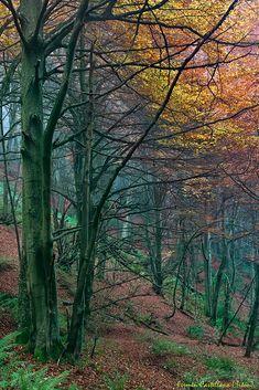 Bosque de hayas con color otoñal.