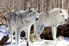 Graceful White Wolves in Snow :) - wolves, animals, pups, lovely wolves, snow, gray wolf, wolf mates, white wolves