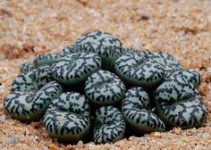 Conophytum ursprungianum by f.arias, via Flickr