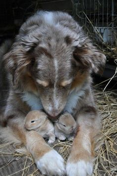 A dog watching over two newborn bunnies.