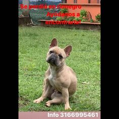 #perroperdido French Bulldog, Instagram, Dogs, Animals, Animales, Animaux, French Bulldog Shedding, Animal Memes, Animal