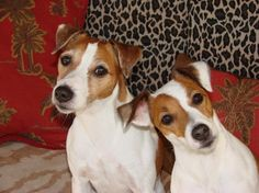 My Jack Russell Terrier Cosmo and Zoe...did somebody say squirrel ??