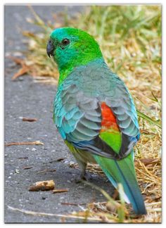 Red-Rumped Parrot - Psephotus haematonotus . . . SE Australia, particularly in the Murray-Darling Basin.