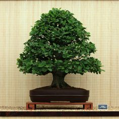 Alnus glutinosa bonsai tree trained in a formal upright style